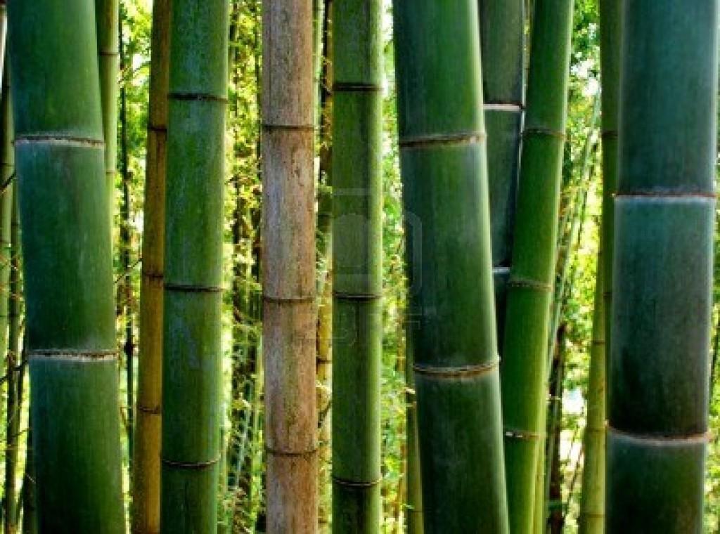 il bambu gigante ed i suoi germogli commestibili libera